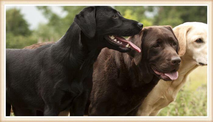 tres perros labradores de diferentes colores