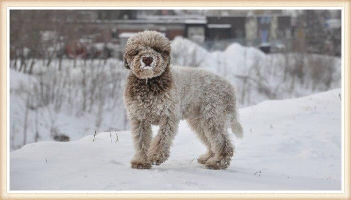 lagotto romagnolo parado sobre la nieve