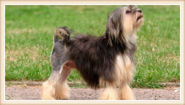 perro lowchen parado y mirando hacia arriba