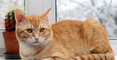 gata naranja atigrada junto a la ventana