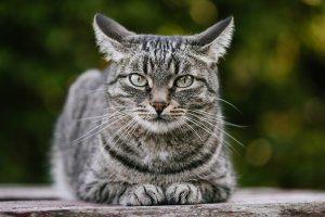 gato atigrado agazapado y mirando atentamente