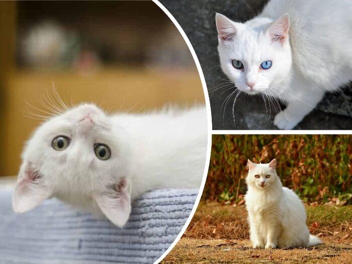 gata blanca de ojos azules