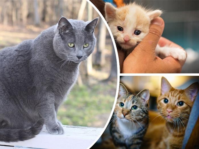 gran gato de color azulado y ojos verdosos