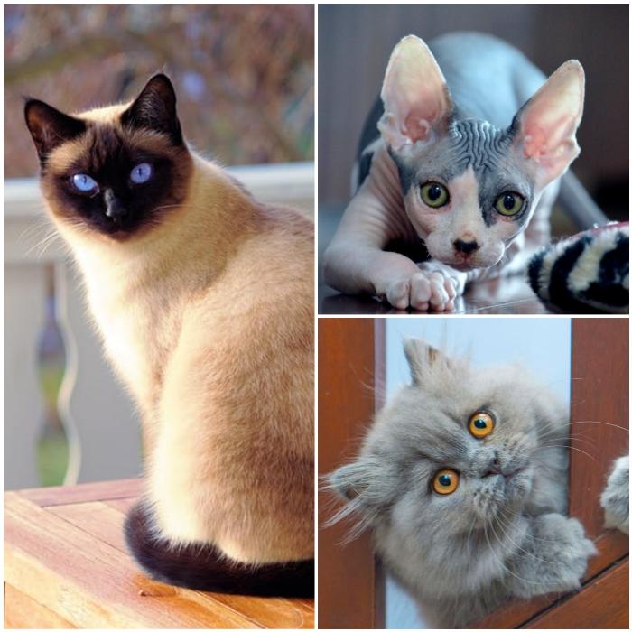 hermoso gato siamés de ojos muy azules