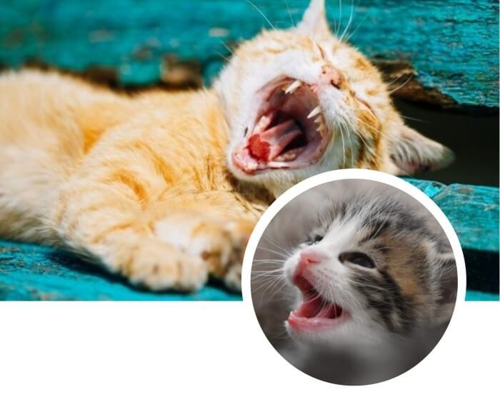 gato atigrado mostrando sus dientes