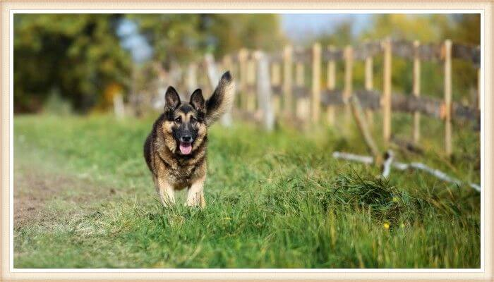 pastor alemán corriendo sobre la hierba