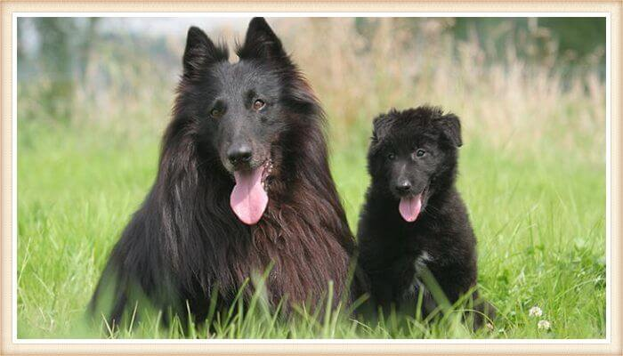 pastor belga de pelo largo negro