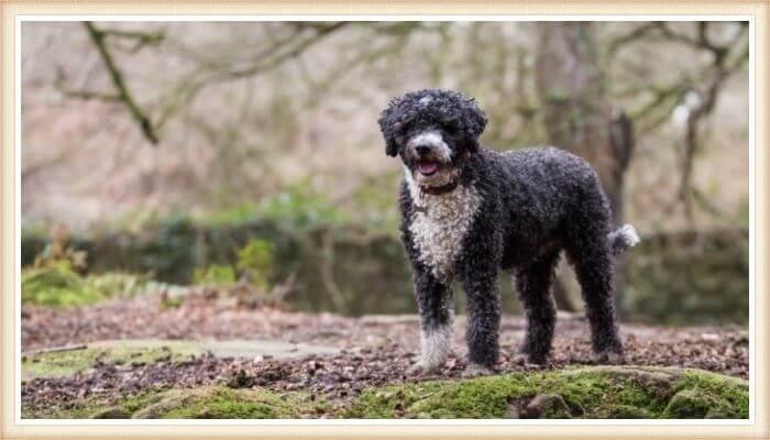 hermoso perro de agua español en el bosque