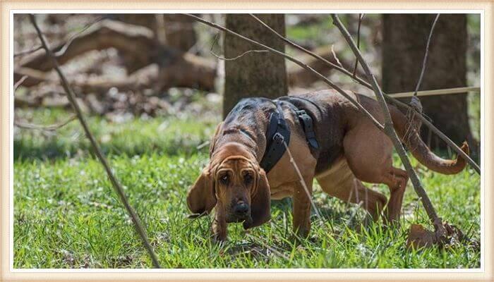 perro de San Huberto olfateando el terreno