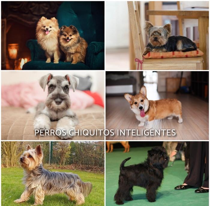 imagen collage de perros pequeños inteligentes