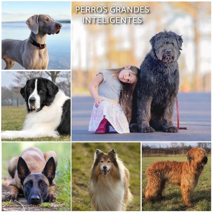 imagen collage de perros grandes inteligentes