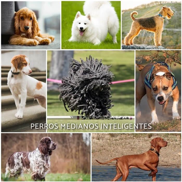 imagen collage de perros medianos inteligentes