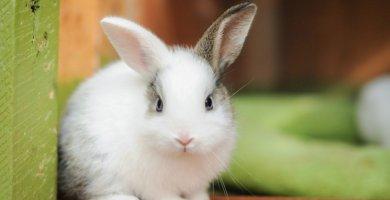 conejito blanco con una oreja gris