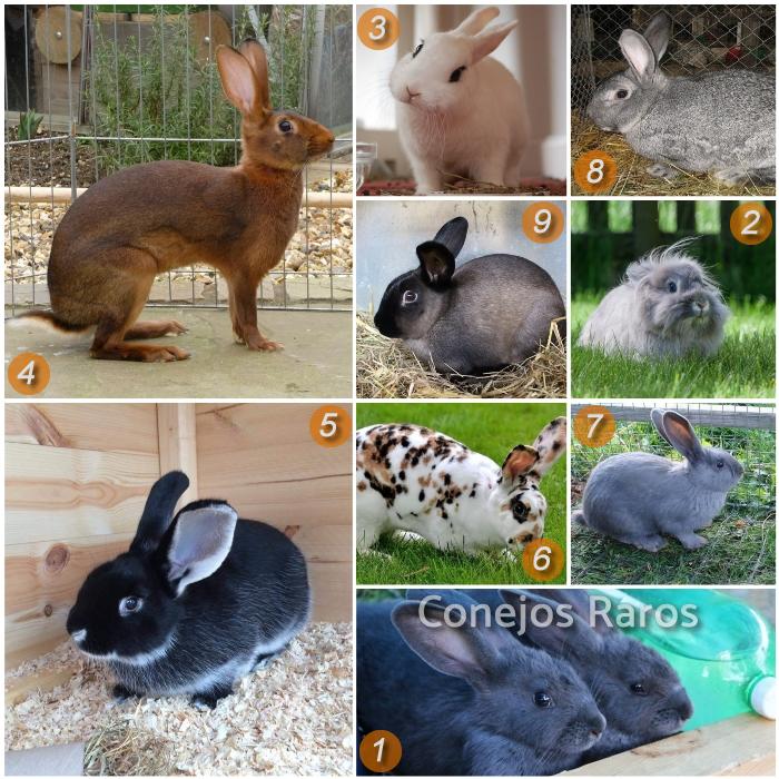 imagen collage sobre razas de conejos raros