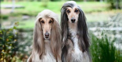 dúo de lebreles con pelo muy largo