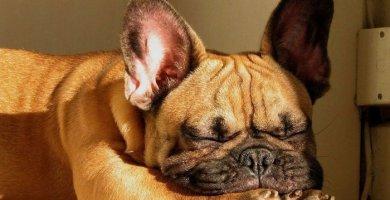 bulldog francés dormido