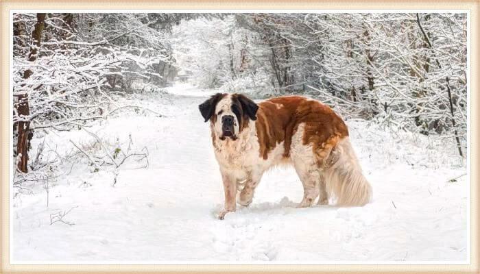 san bernardo parado en el bosque nevado