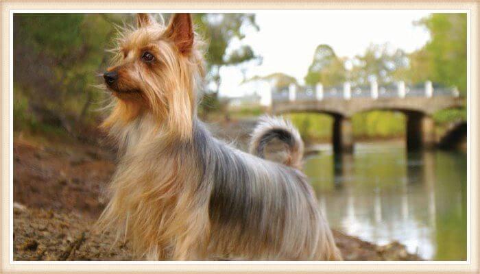 hermoso silky terrier junto a un lago
