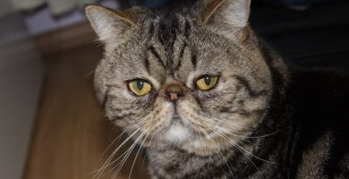 gato de ojos tristes y nariz plana