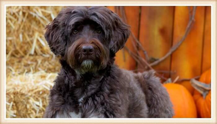 perro de agua portugués mirando atento