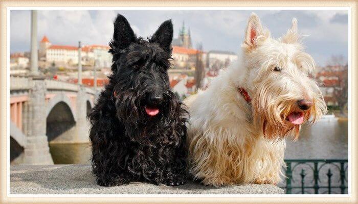 terriers escoceses de distintos colores