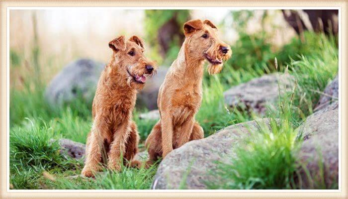 terrier irlandeses sentados entre pasto y rocas