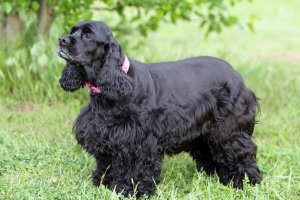 hermoso cocker spaniel de color negro intenso