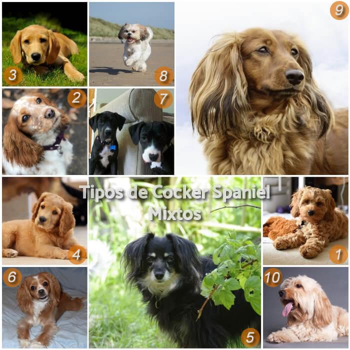 imagen collage de perros cocker mixtos