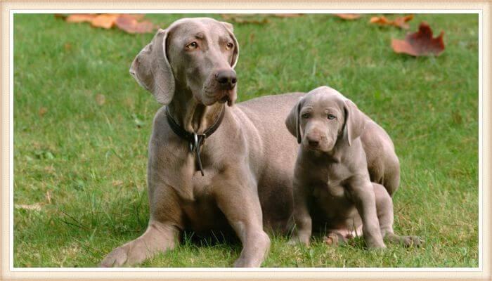 weimaraner grande junto a weimaraner cachorro