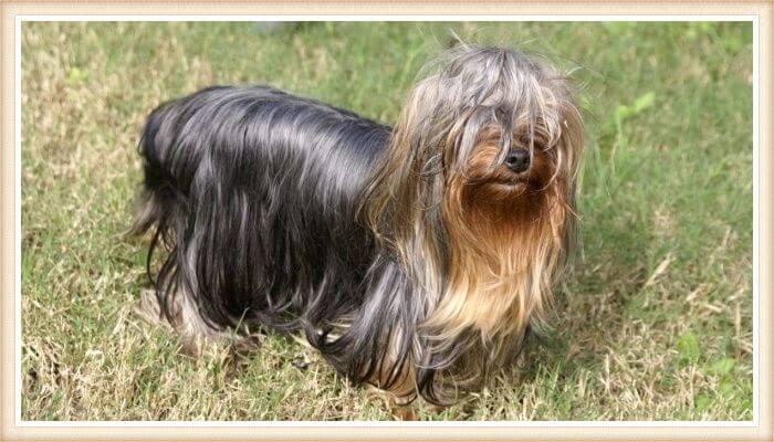 hermoso yorkshire terrier de pelo largo gris y dorado