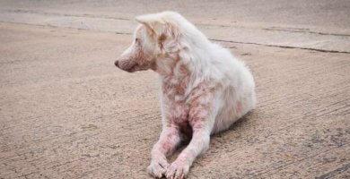 perro blanco con sarna acostado