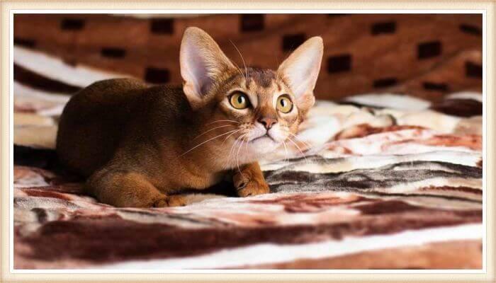 gato abisinio sobre la cama mirando fijamente