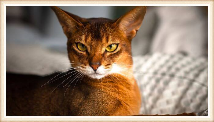 hermoso gato de color rojizo vibrante