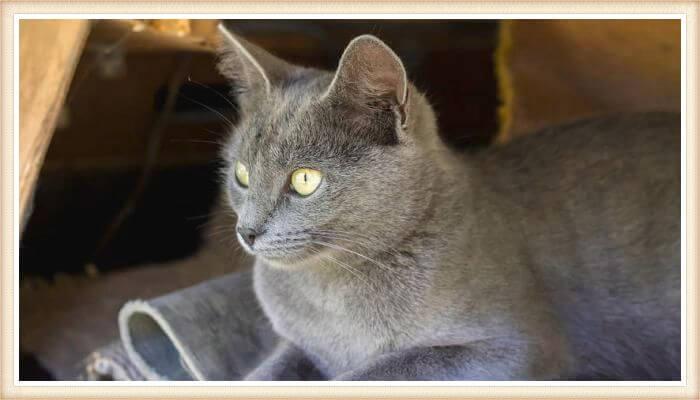 gato de pelaje azul grisáceo y ojos amarillos