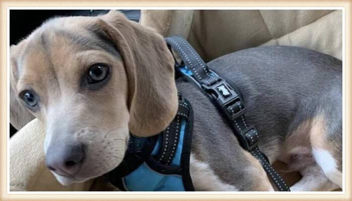 beagle azul tricolor con arnés
