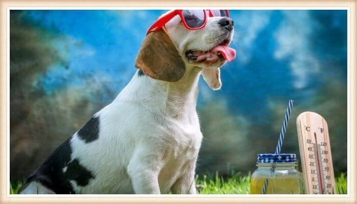 gracioso beagle tricolor usando gafas de sol rojas