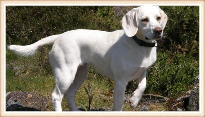 beagle blanco caminando entre la vegetación