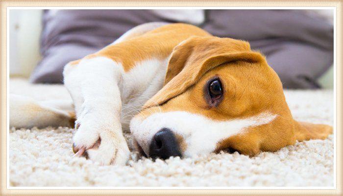 hermoso beagle limón y blanco echado sobre la alfombra