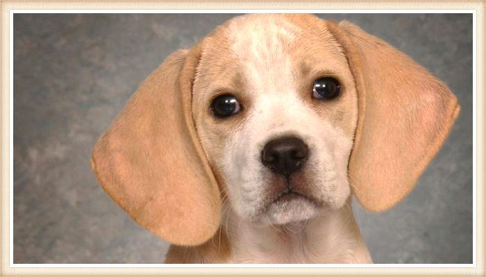 beagle limón con expresión facial triste