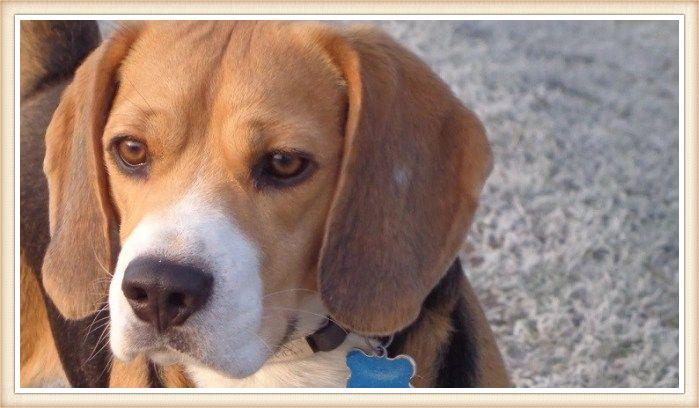hermoso beagle tricolor con orejas grandes y hocico blanco