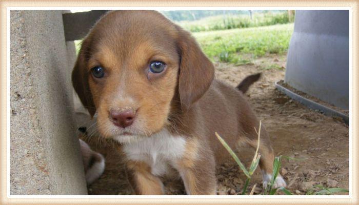cachorrito beagle chocolate de ojos claros