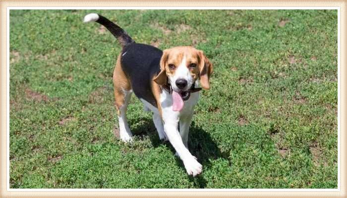 beagle tricolor con la lengua afuera caminando sobre la hierba