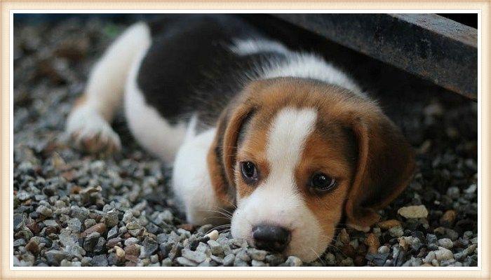 beagle cachorro tricolor echado sobre grava