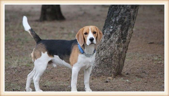 beagle tricolor parado frente a un árbol