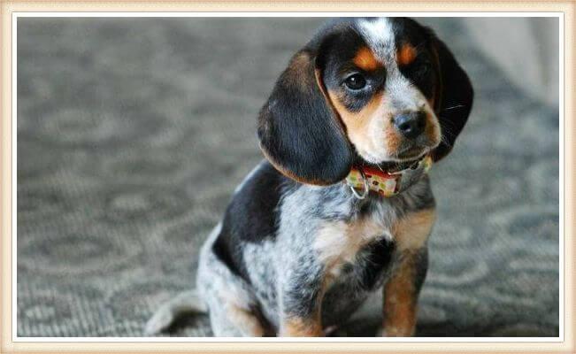 cachorro beagle bluetick con collar