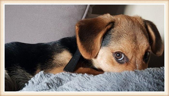 beagle negro y tostado echado sobre una manta