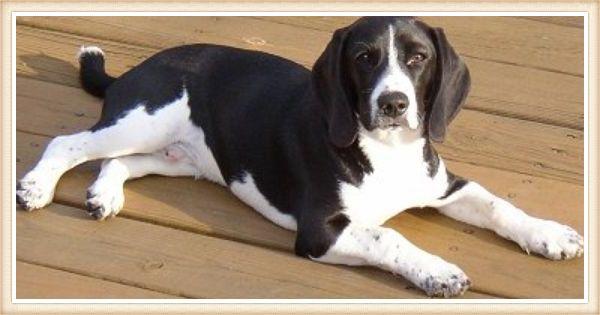 beagle negro acostado sobre piso de madera