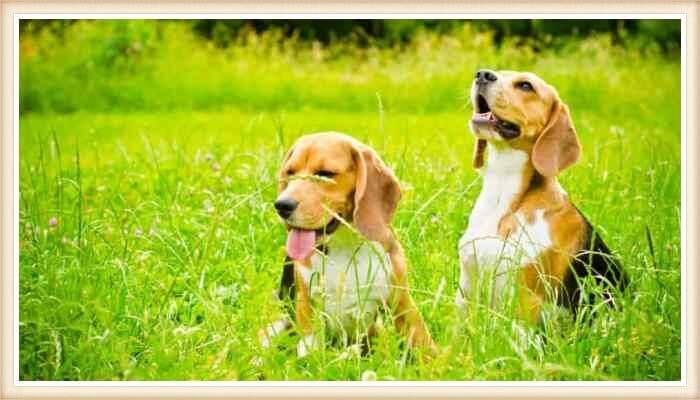 perros beagle jugando entre la hierba verde