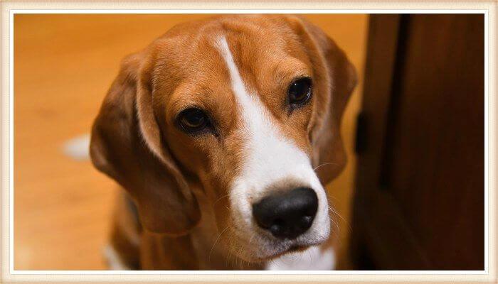 beagle de color rojo vibrante