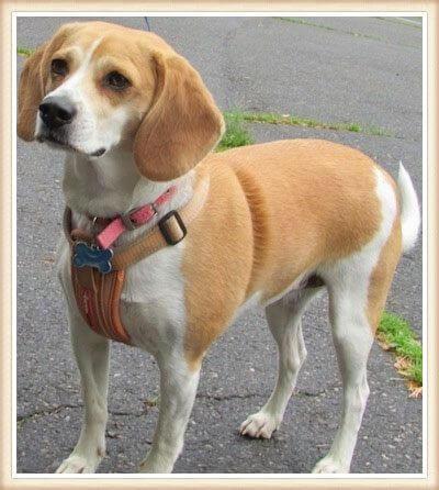 beagle tostado bicolor parado sobre el pavimento